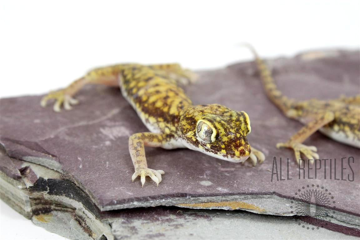 Northern Elegant Gecko