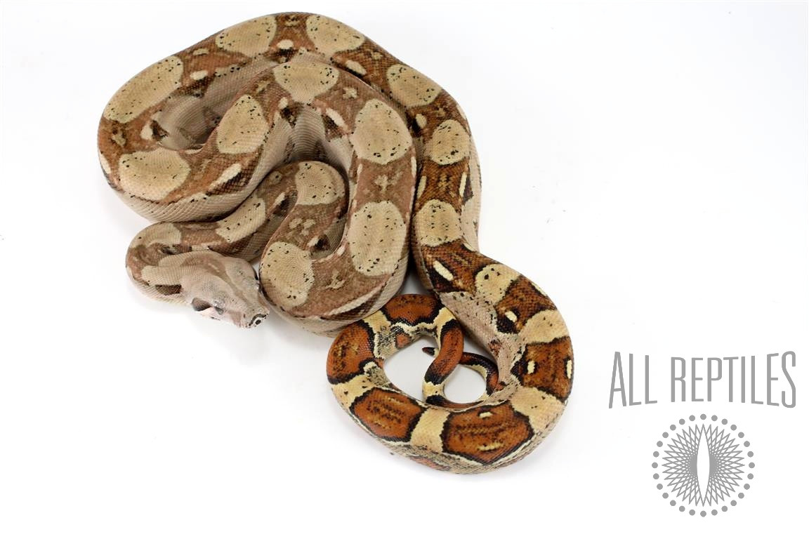 Double Het Ghost Colombian Boa
