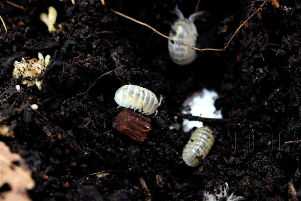 Isopods (Magic Potion)