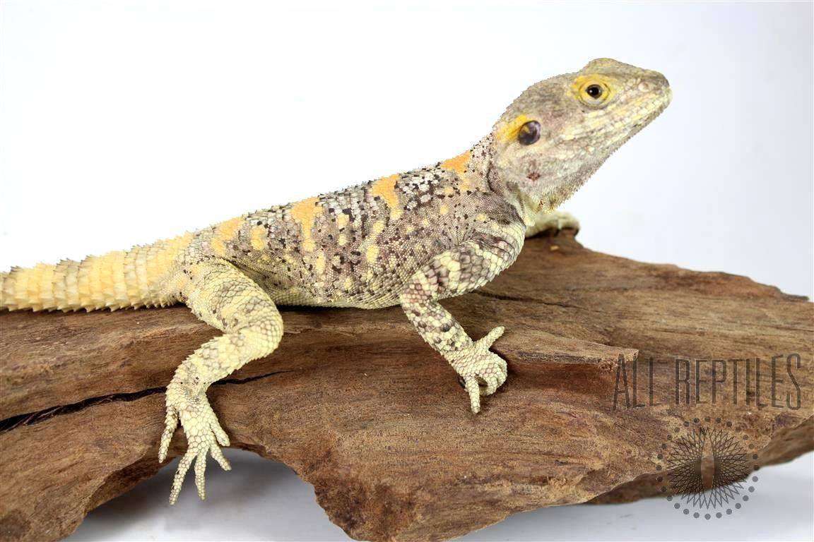 Painted Agama