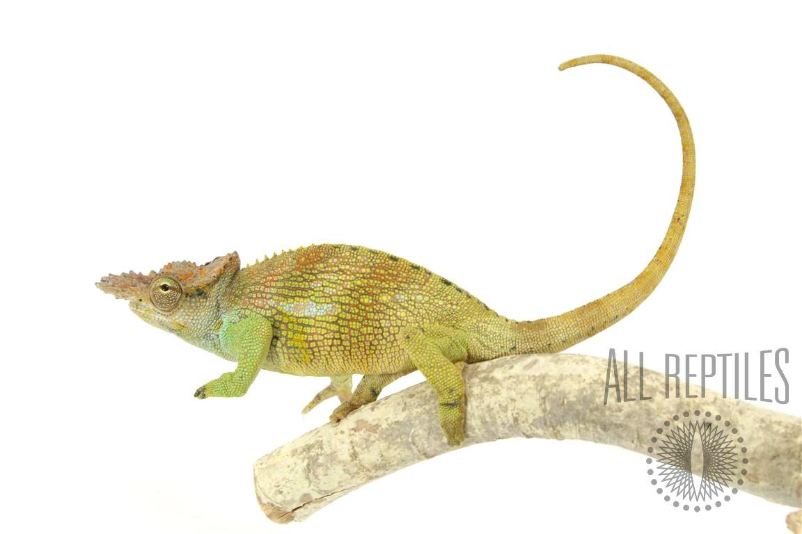 Dwarf Two Horned Chameleon