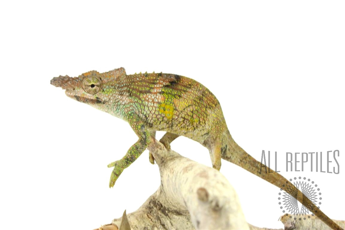 Dwarf Two Horned Chameleon