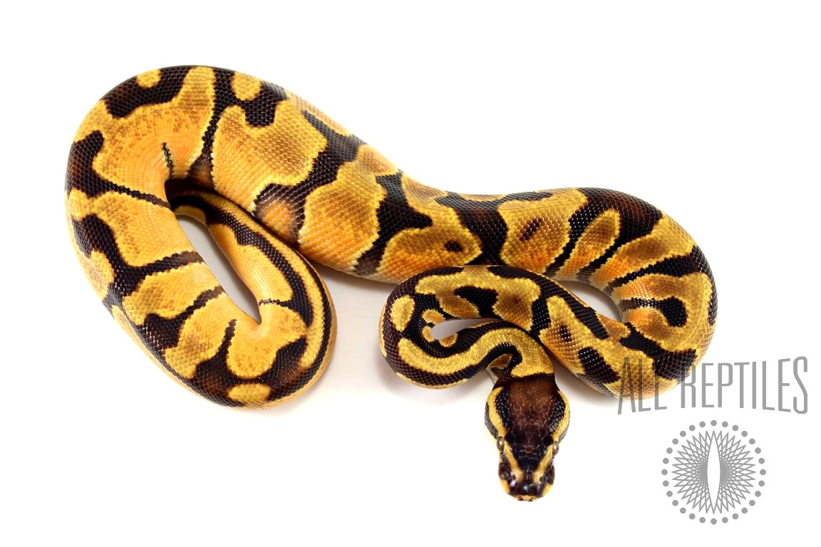 Orange Dream Enchi het Pied Ball Python
