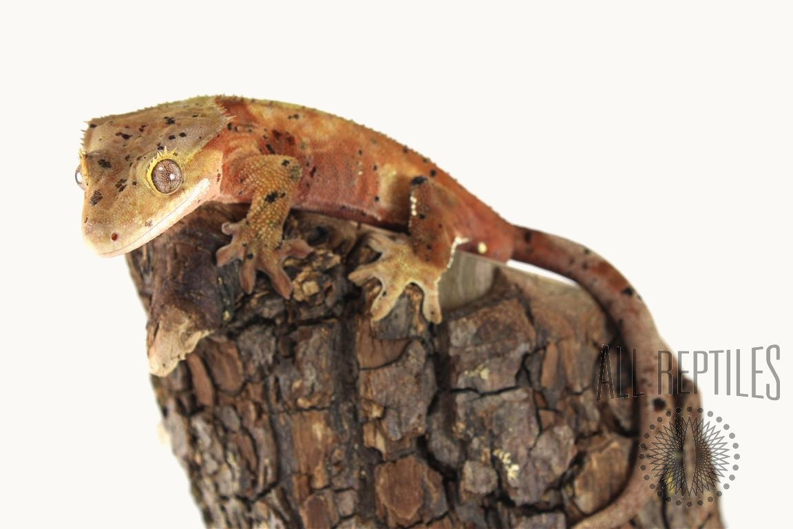 Red and Black Dalmatian Crested Gecko