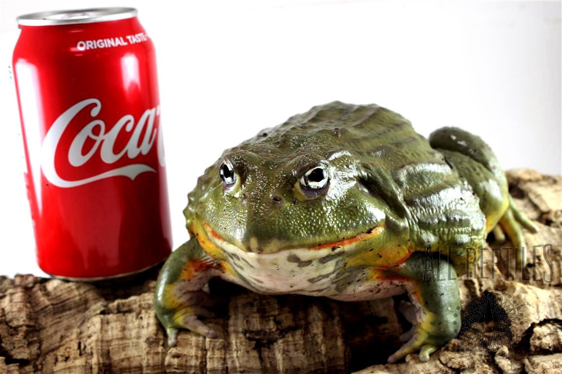 CB Adult Pixie Frog