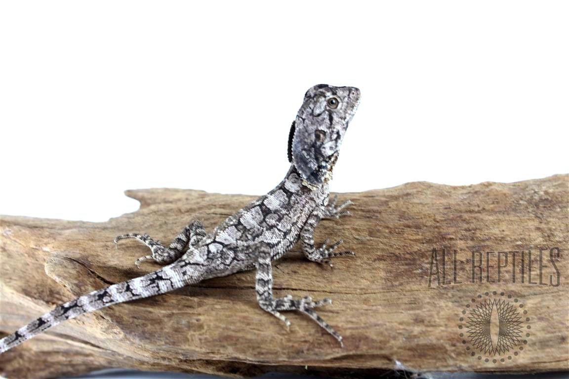 Frilled Dragon