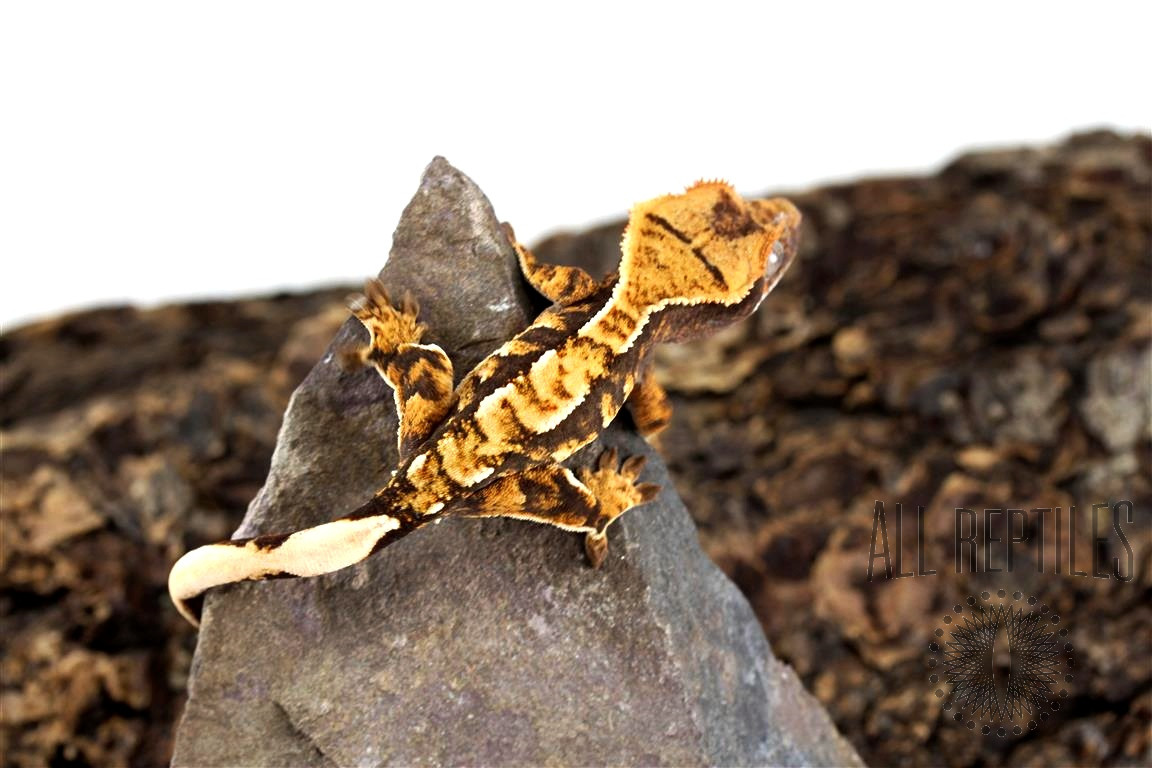 Chocolate Extreme Harlequin Crested Gecko