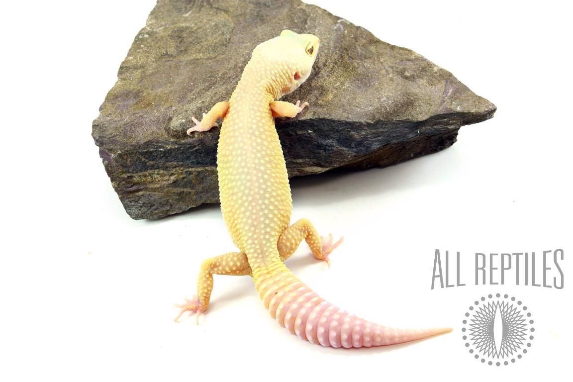 Murphy's Patternless Leopard Gecko
