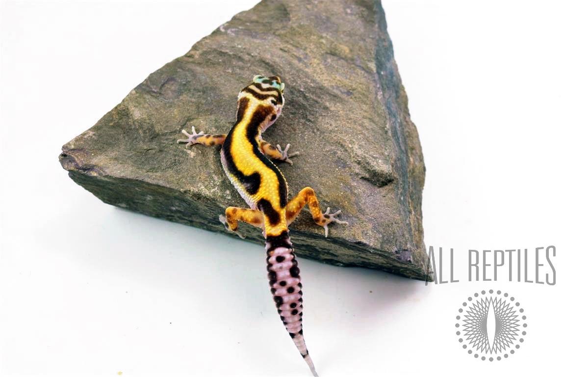 Albino Jungle Enigma Leopard Gecko