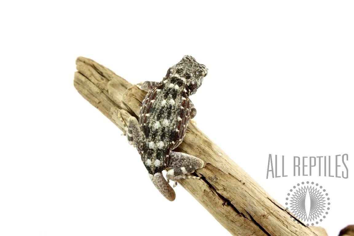 Scorpion Gecko - Regen Tail