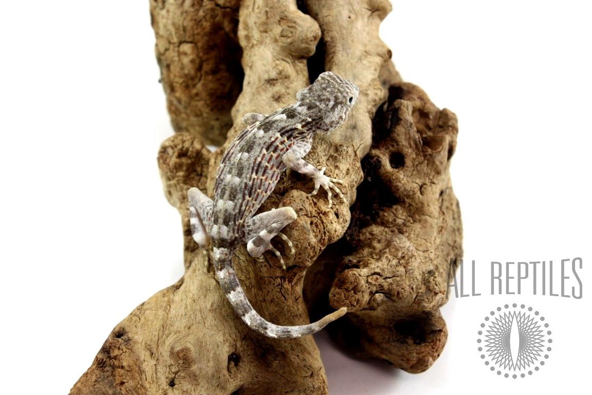 Scorpion Gecko