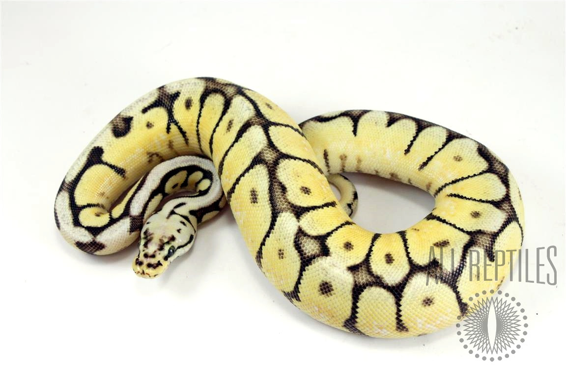 GHI Yellow Belly Bumblebee Ball Python