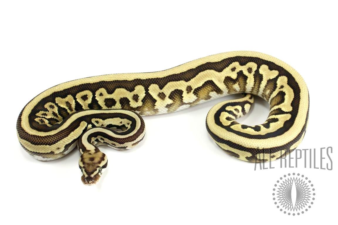 Leopard Lesser Spotnose Ball Python