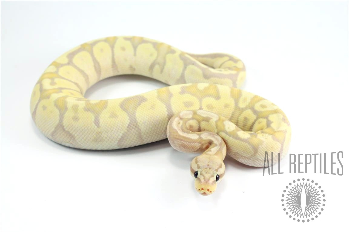 Firefly Banana Ball Python