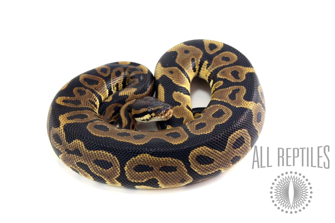 Leopard Ball Python