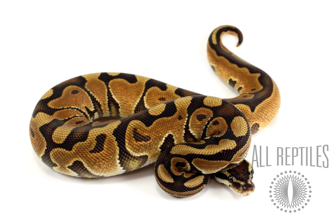 Black Pastel Enchi Ball Python