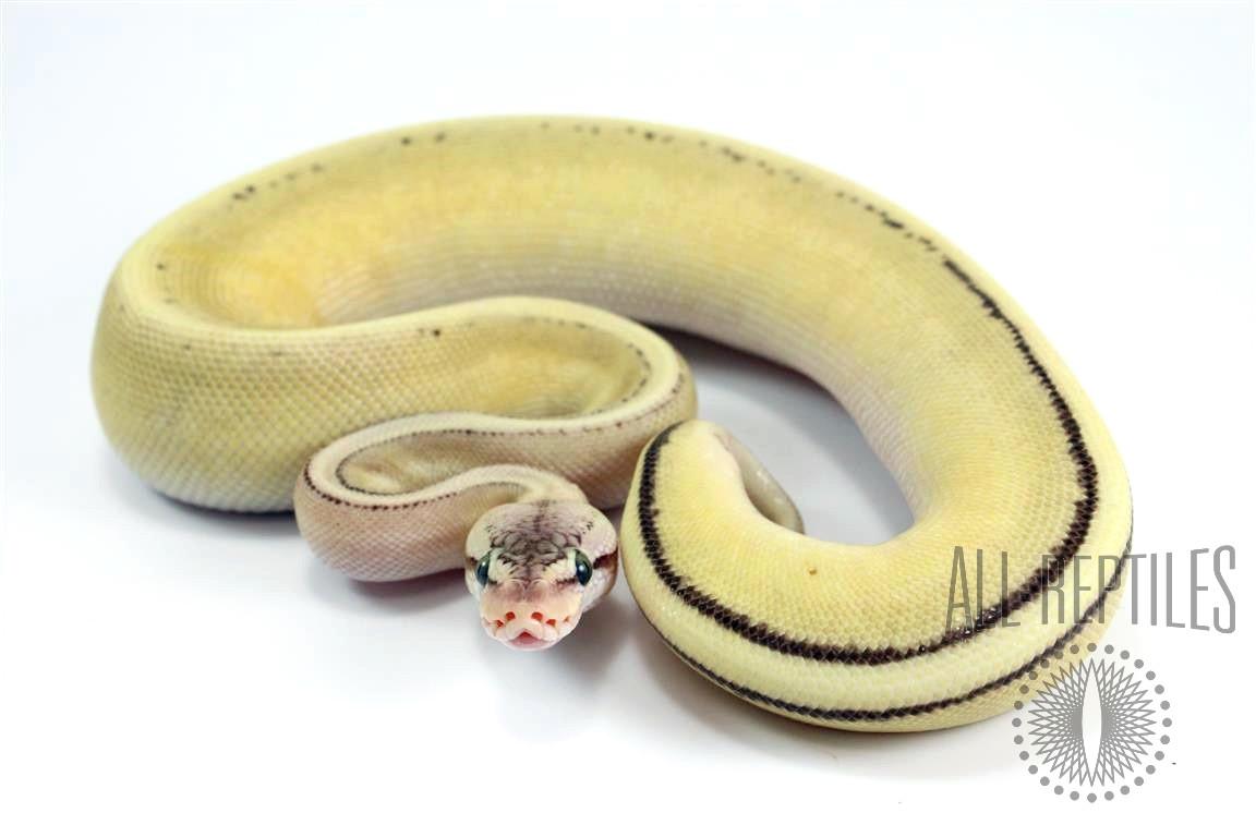 Pastel Lesser Genetic Stripe Spark HRA Ball Python