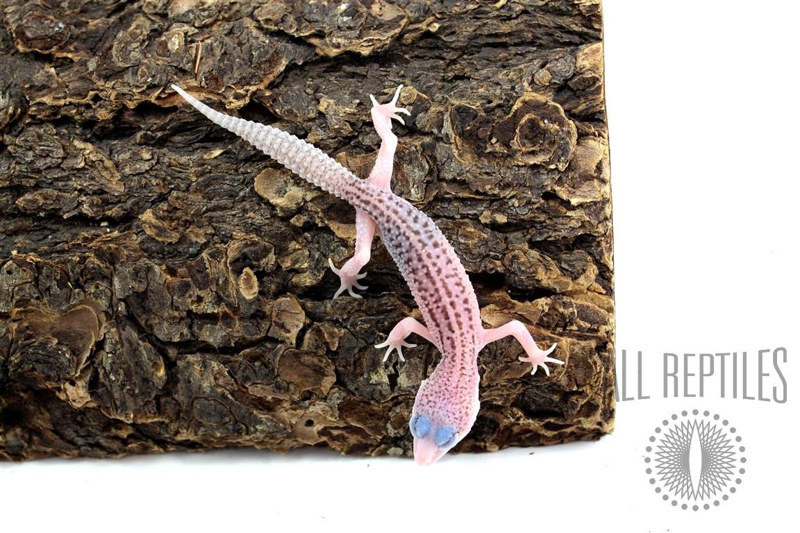 Super Galaxy Leopard Gecko