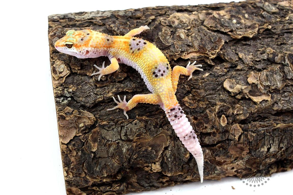 Clown Leopard Gecko