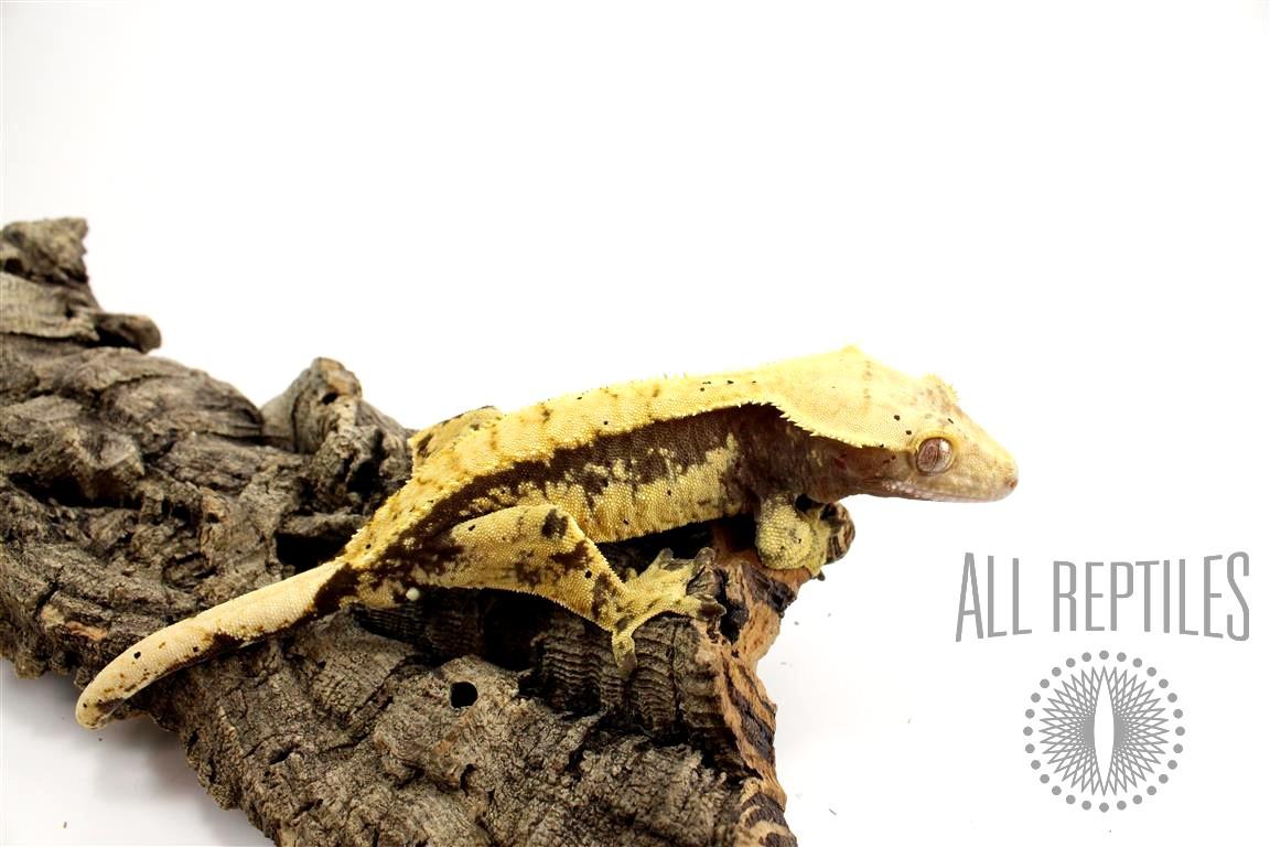 Black Extreme Harlequin Crested Gecko