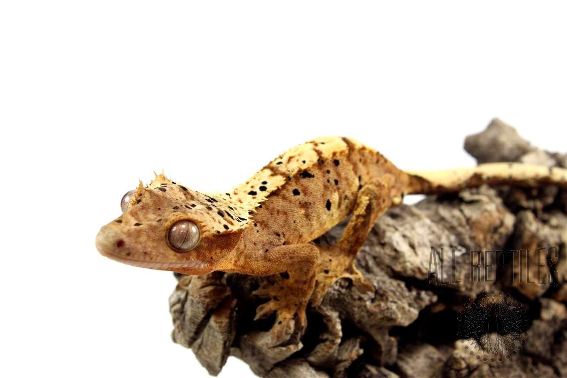 Orange Super Dalmatian Crested Gecko