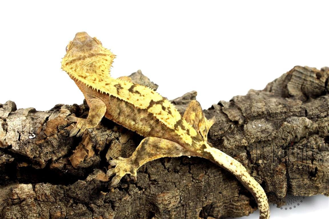 Tiger Pinstripe Crested Gecko