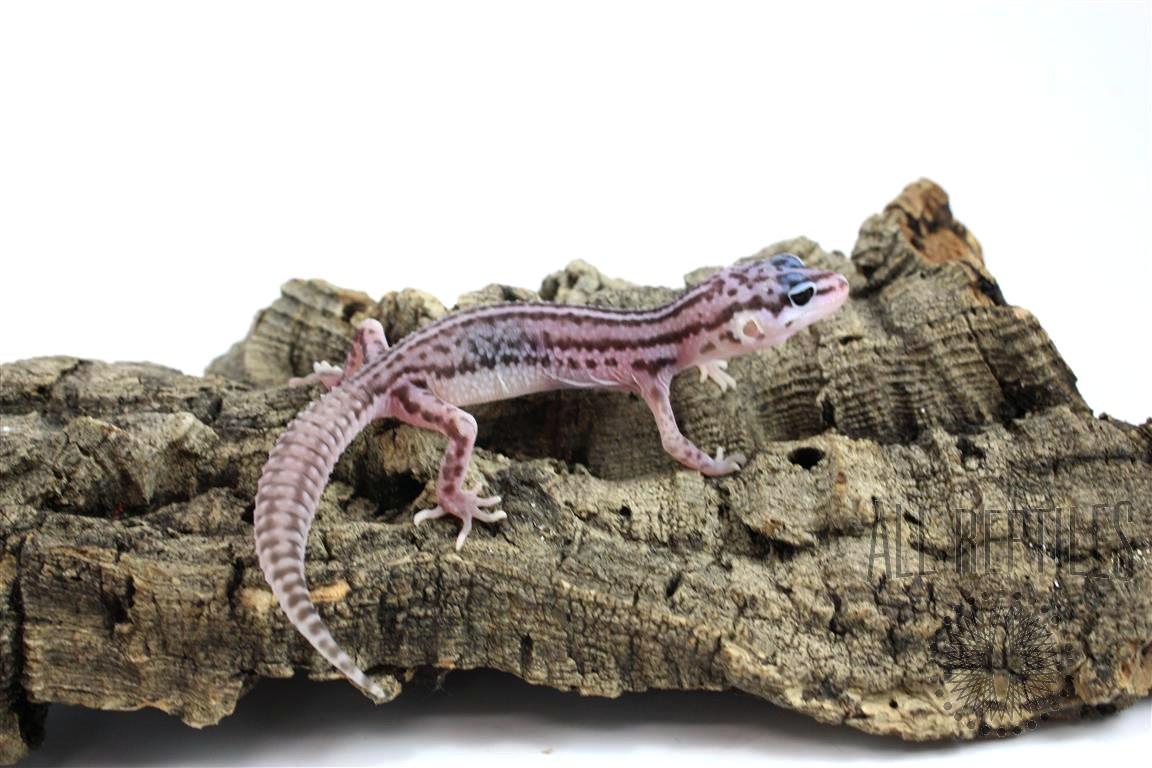 Mack Super Snow Leopard Gecko