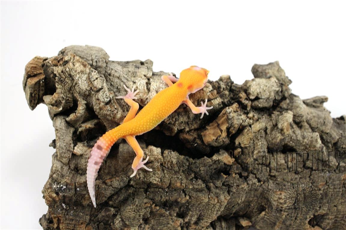 RADAR Leopard Gecko