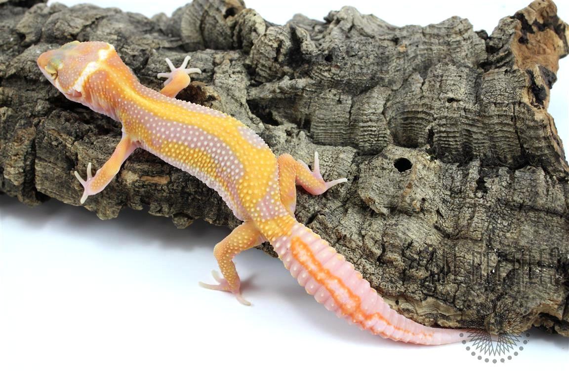 Extreme Highlighter Super Giant Leopard Gecko