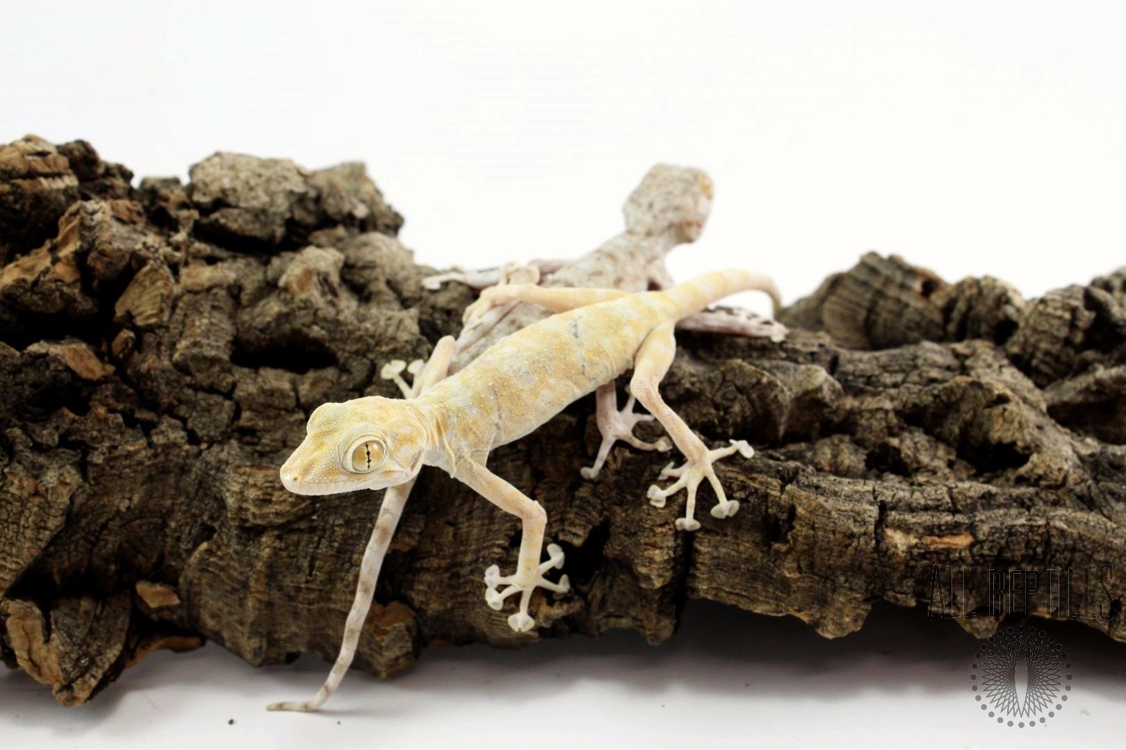 Fan Footed Gecko