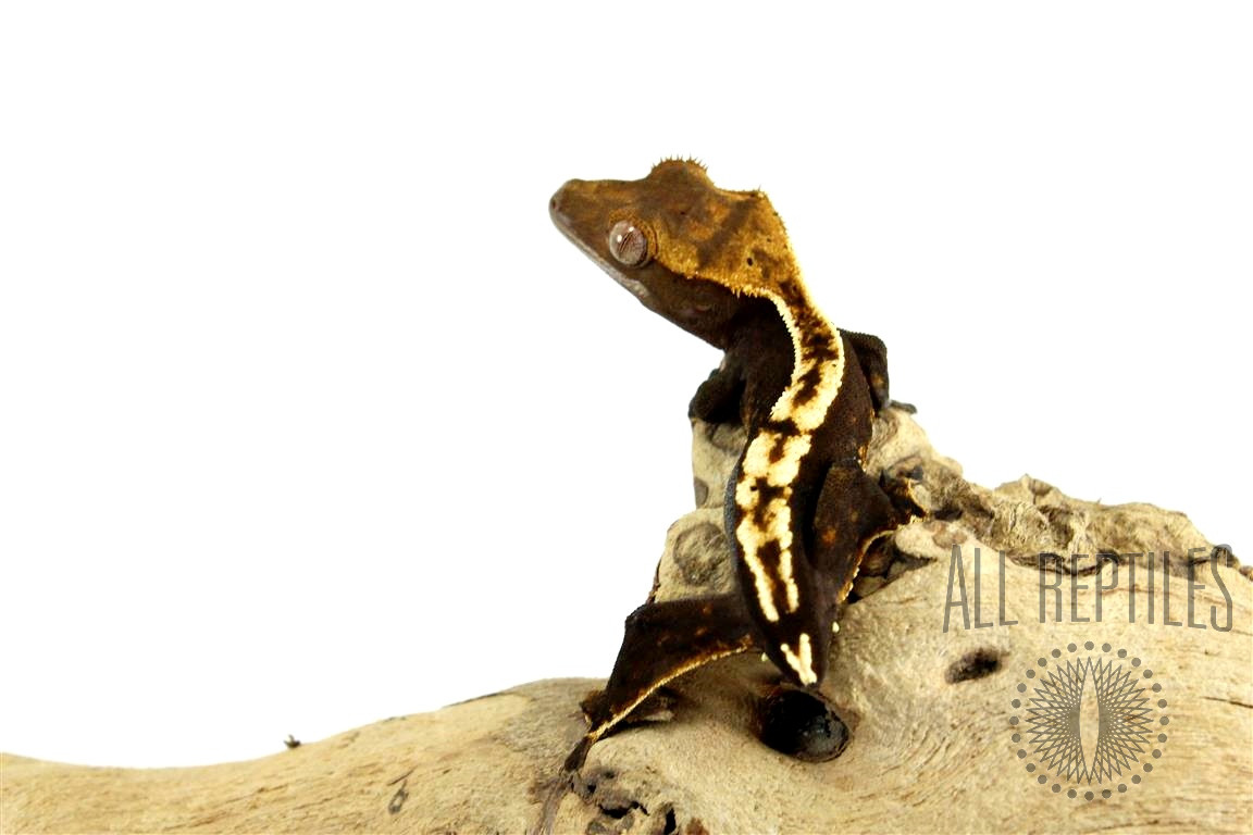Tailess Chocolate Pinstripe Crested Gecko