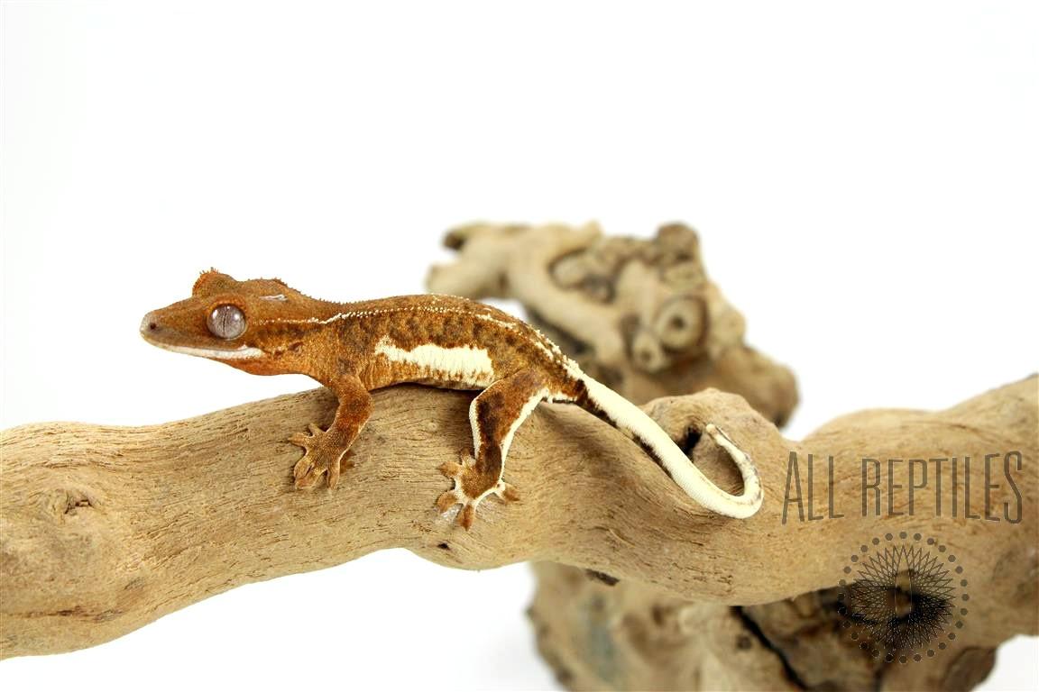 Phantom Lilly White Crested Gecko