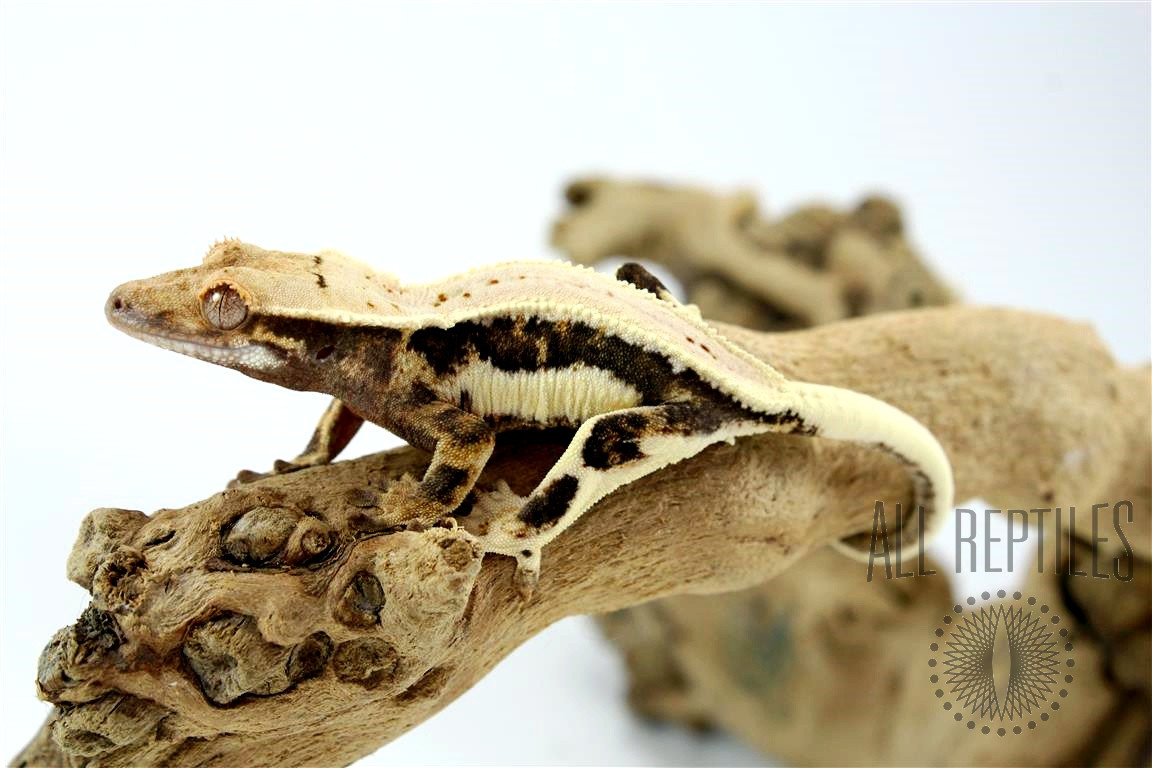 Lilly White Possible Soft Scale Crested Gecko