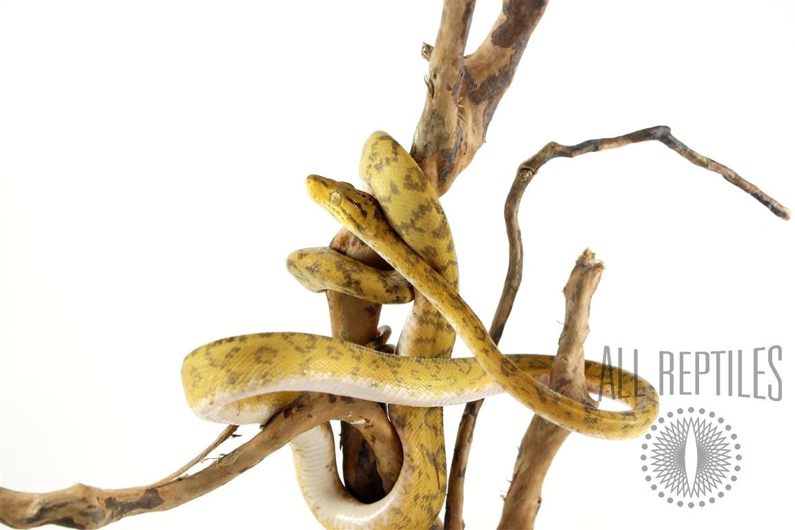 Yellow Patterned Amazon Tree Boa