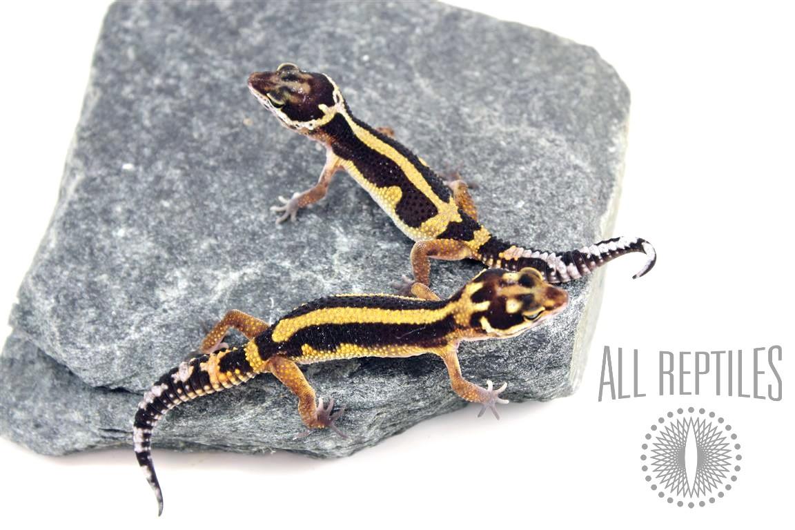 Striped Leopard Gecko