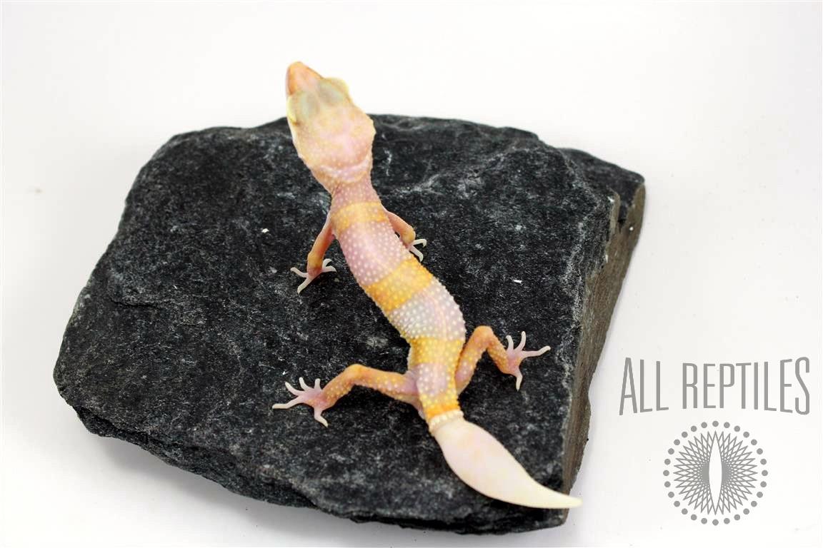 Regenerated Tail Bubblegum Albino Leopard Gecko