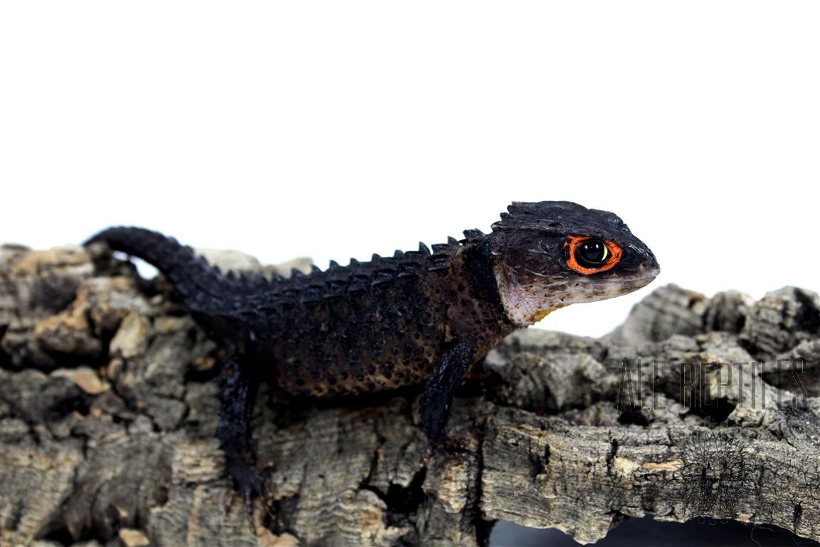 Red Eye Crocodile Skink - Adult Female