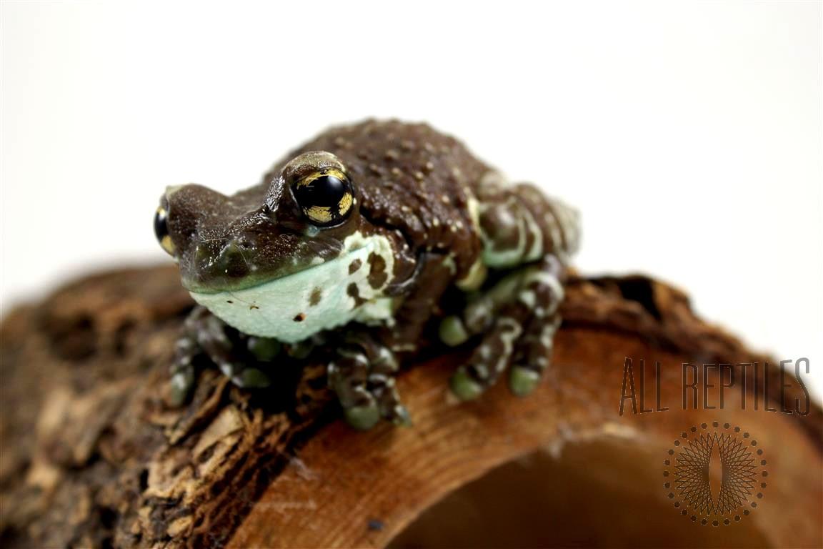 Amazon Milk Frog - Adult