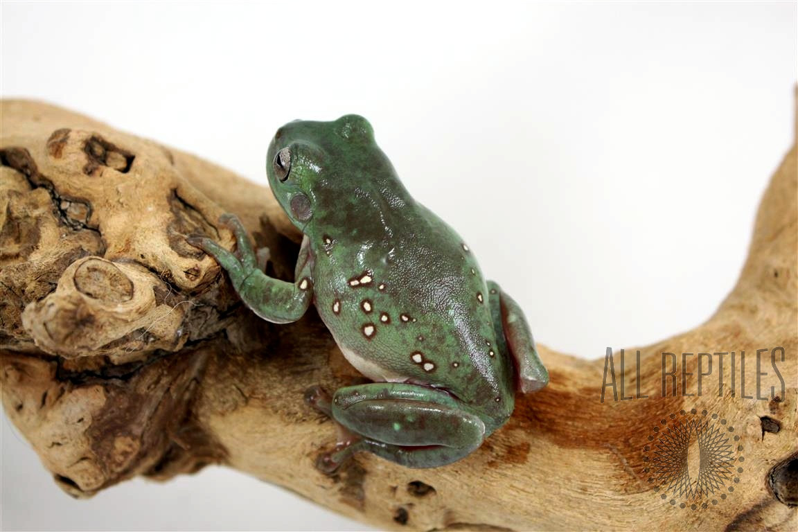 CB Baby Snowflake White's Tree Frog