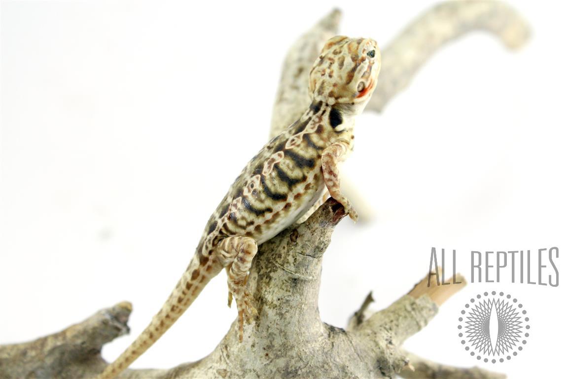 Silkback Bearded Dragon