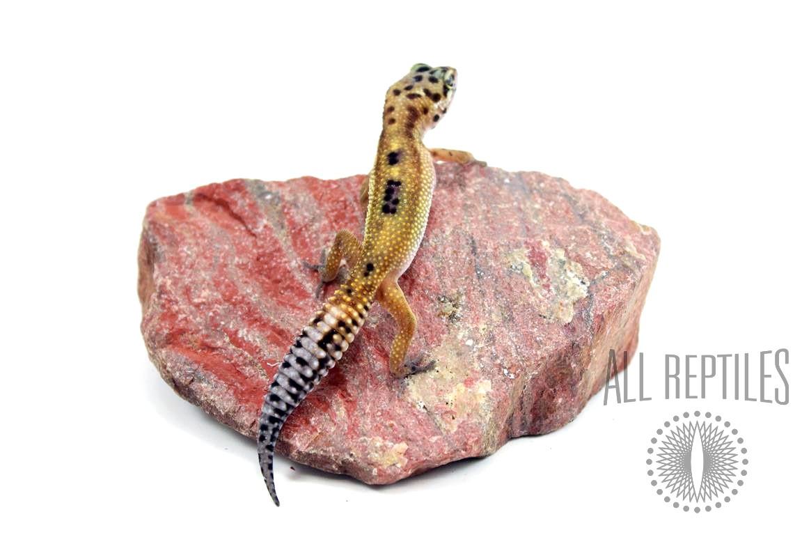 Red Stripe Leopard Gecko
