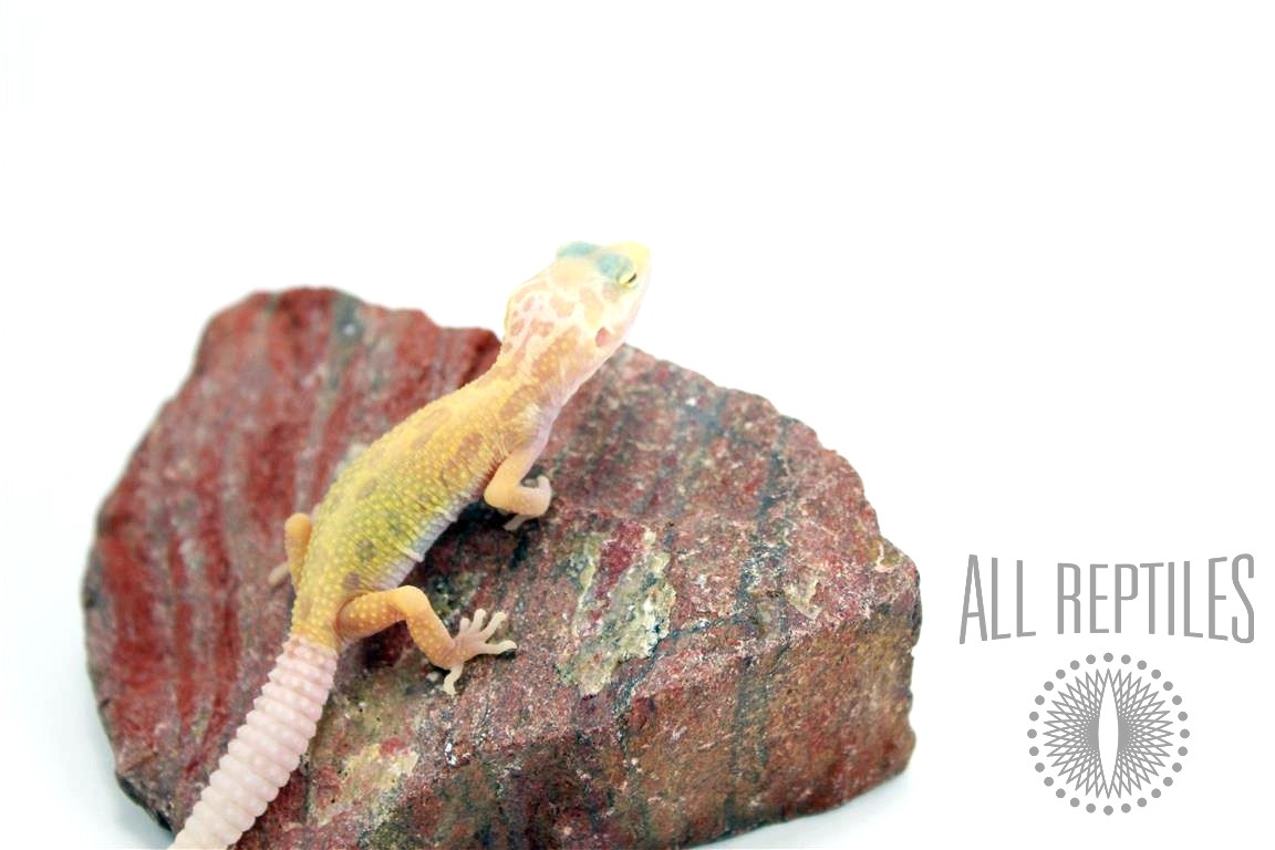 Lemon Leucistic Leopard Gecko