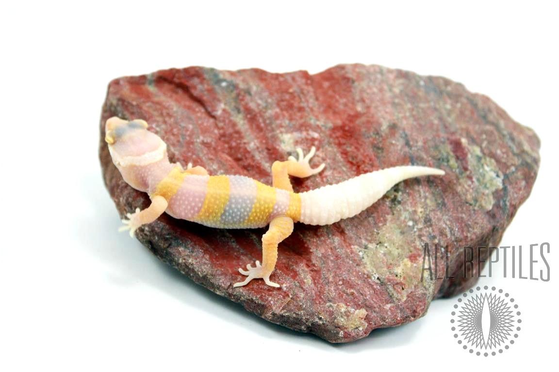 Bubblegum Albino Leopard Gecko
