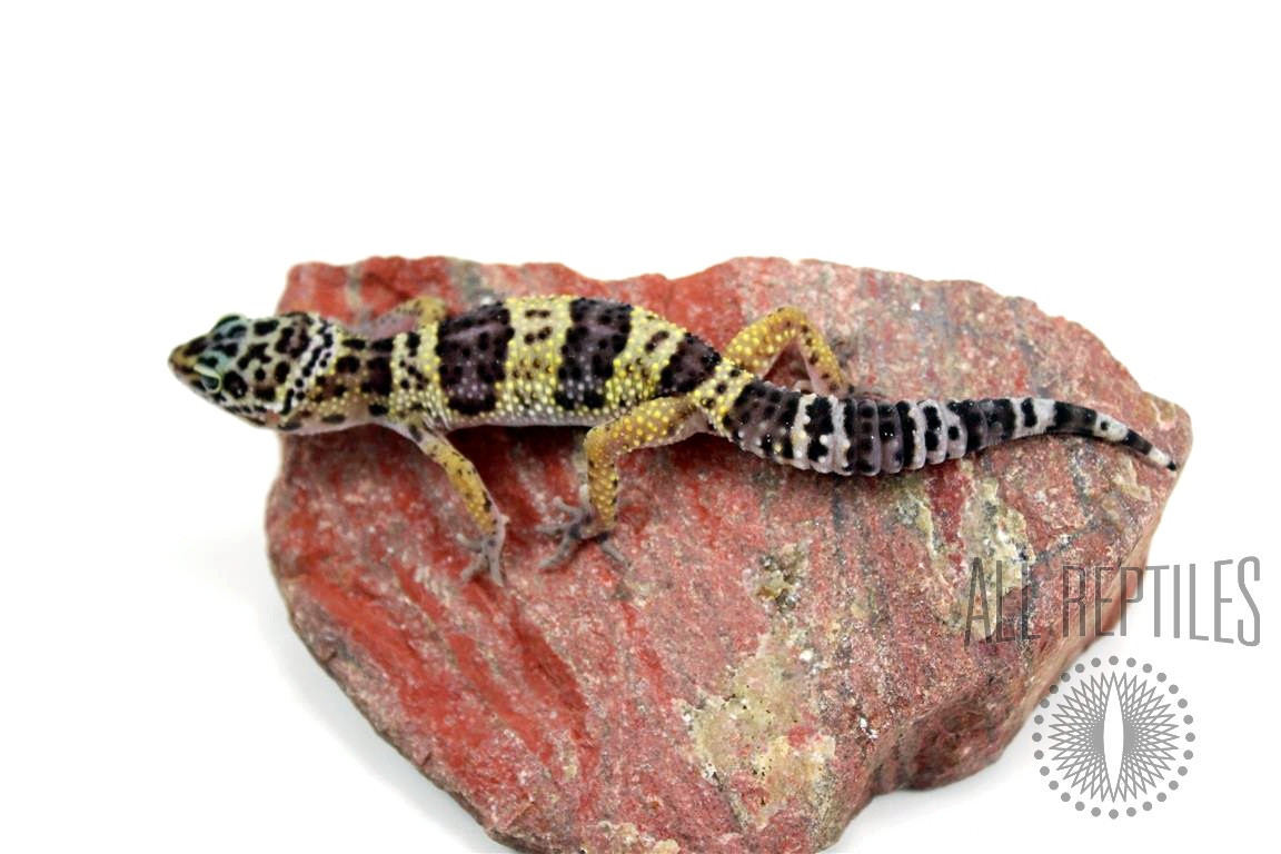 Montanus Leopard Gecko