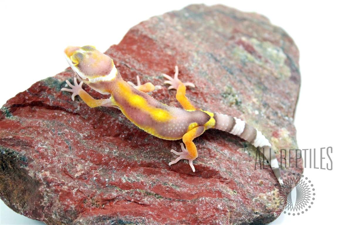 High Contrast Albino Special Leopard Gecko