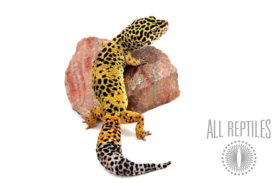 Classic Leopard Gecko - Female