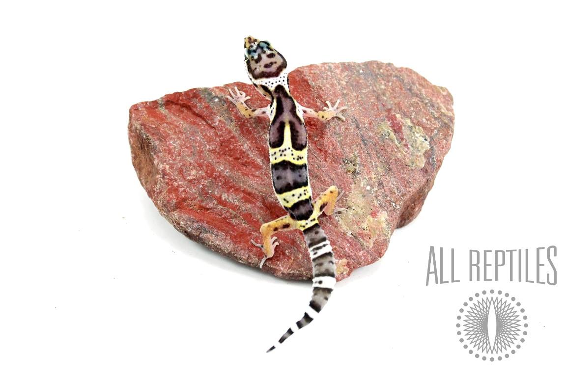 Black Night Cross Leopard Gecko