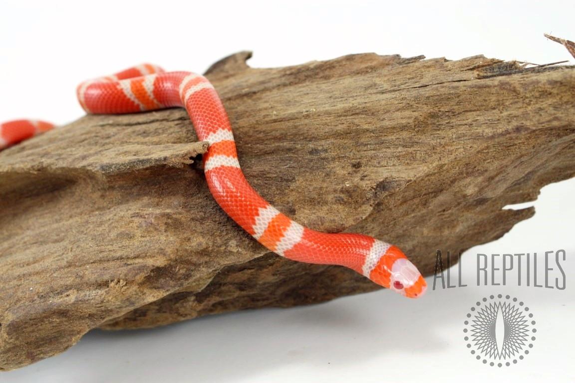 Albino Tangerine Honduran Milksnake