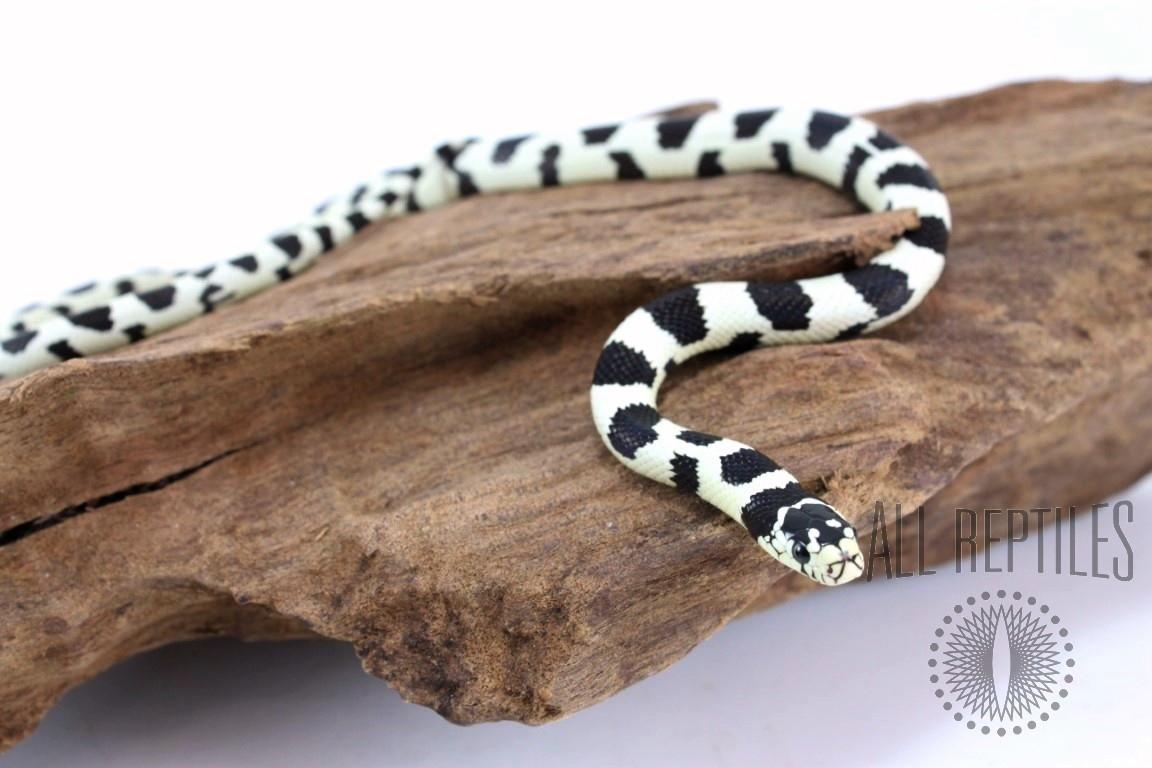 Breeder Hold Back - Wide Banded 50/50 Black and White California Kingsnake
