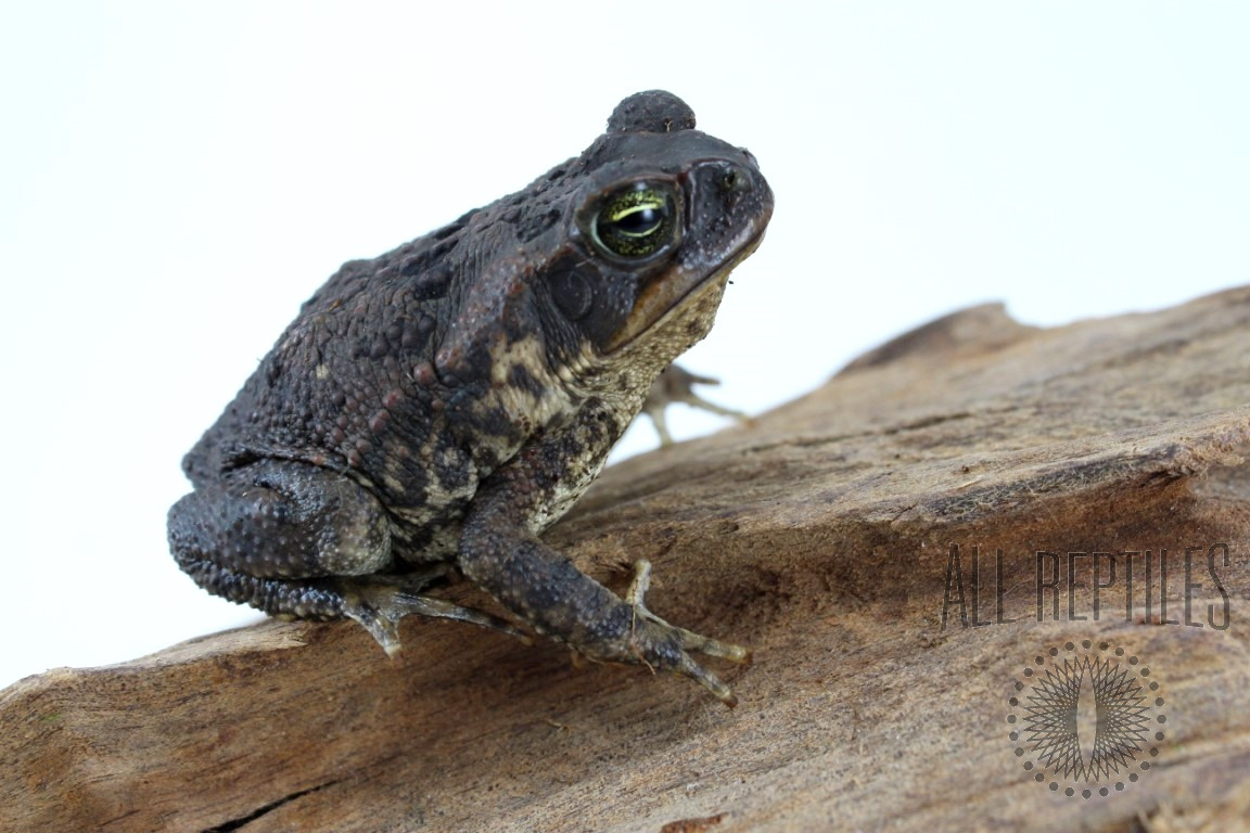 Juvenile Marine Toad